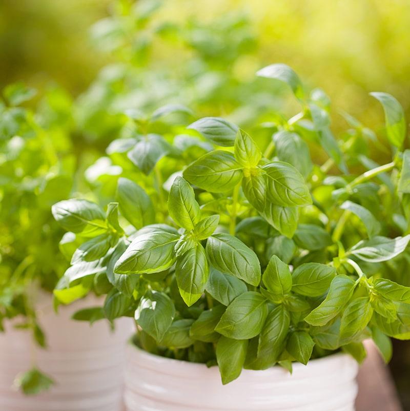 Centre Jardin Varennes Fines Herbes Basilic