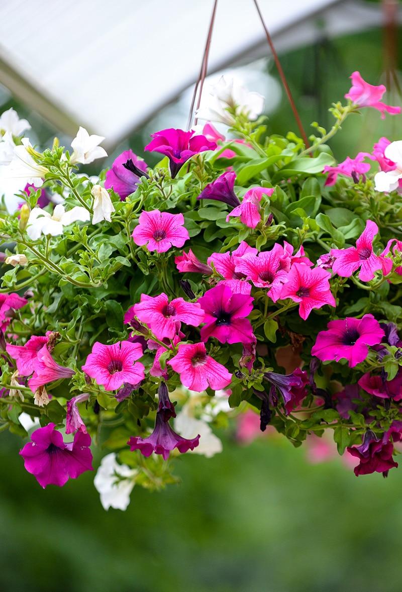 Centre Jardin Varennes Plante Fleurs Suspendues